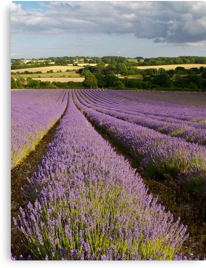 Lavender in the summer sun near Alton  by Alex Cassels