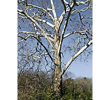 Leafless Tree Photographic Print