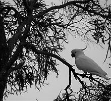 Sulphur-crested Cockatoo  by CharlieD