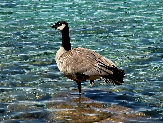 Canada Goose on Lac Beavert in JASPER by AnnDixon