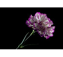 Carnation on black background Photographic Print