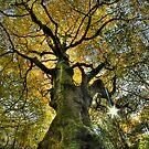 Autumn Giant's Golden Boughs by Guy Carpenter