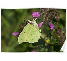 Brimstone butterfly on flowers in Bentley Wood Poster