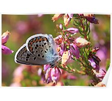 Silver-studded Blue butterfly on heather Poster