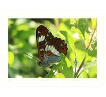 White Admiral butterfly on blackthorn Art Print