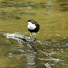 Dipper by Russell Couch