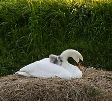 Mother Swan by Willem Hoekstra