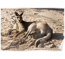 Kangaroo lying in a sand bunker on the golf course Poster