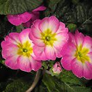 Pink Primulas  by ©The Creative  Minds