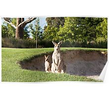 Kangaroos on the golf course, Poster