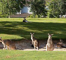 Kangaroos in sand bunkers by Anna Calvert