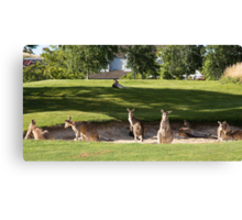 Kangaroos in sand bunkers Canvas Print
