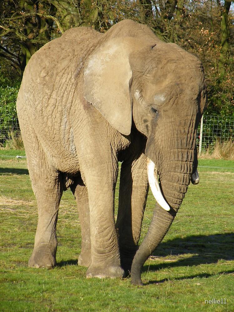 African Elephant (Loxodonta africana) by nellie11