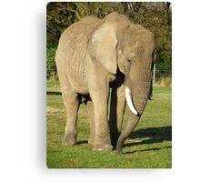 African Elephant (Loxodonta africana) Canvas Print