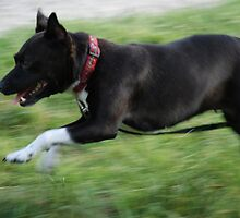Staffie Dog Running by SophieSimone
