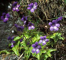 Erba-unta comune (Pinguicula vulgaris) by signolink