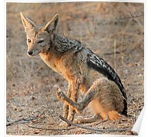 Patient  black backed jackal  Poster