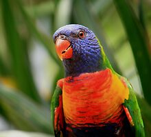 Colourful Rainbow Lorikeet by aussiebushstick