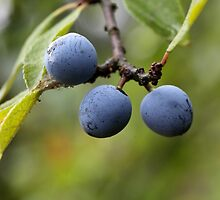 Blackthorn Fruits by Zosimus