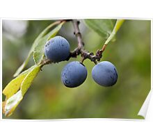 Blackthorn Fruits Poster