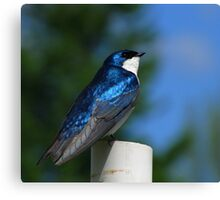Tree Swallow on PVC Pipe Canvas Print