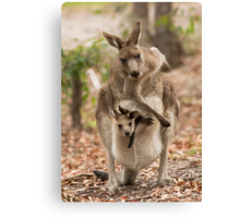 Kangaroo, just having a scratch! Canvas Print