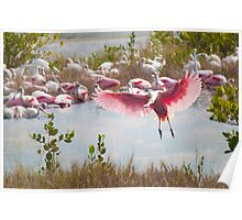 """The Fly In'' - Roseate Spoonbills Poster"