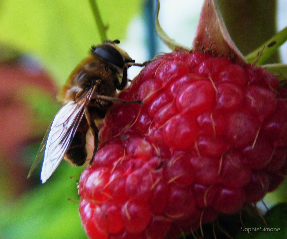 Bumble Bee on Red Rasberry by SophieSimone