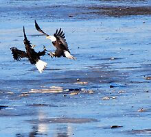 Bald Eagle Dispute by barnsis