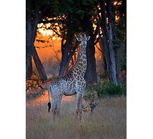 Botswana Wildlife #2 - Giraffe Photographic Print