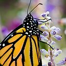 Monarch Butterfly by Oscar Gutierrez