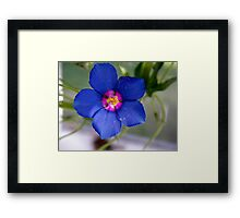 very blue flower Framed Print