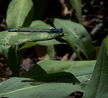 dragon fly on a leaf by vernonite