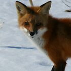 Fox by Dave & Trena Puckett