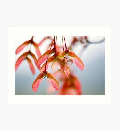 Maple Seeds Art Print