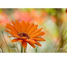 Orange Daisy Photographic Print
