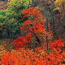 MAPLES, AUTUMN by Chuck Wickham