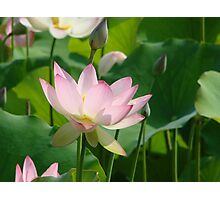 Water Lily at the Biltmore Photographic Print