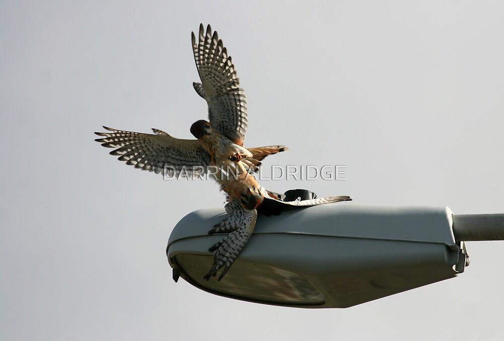 Kestrel Falcons Battle for a Grasshopper by DARRIN ALDRIDGE