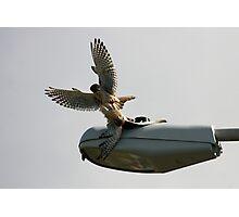 Kestrel Falcons Battle for a Grasshopper Photographic Print
