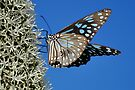 Flutter By - Blue Tiger Butterfly by Barbara Burkhardt