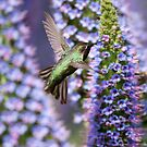Anna's Hummingbird and Pride of Madeira Wildflowers by Susan Gary