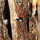 Acorn Woodpecker Peeks Out by DARRIN ALDRIDGE