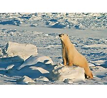 Polar Bear Pushups Photographic Print