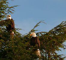Two Bald Eagles  by Gail Bridger