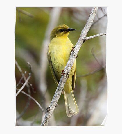 ''Yellow Honeyeater'' Poster