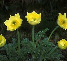Pulsatilla alpina (Pulsatilla alpina apiifolia) by signolink