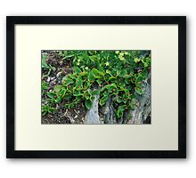 Salice erbaceo (Salix herbacea) Framed Print