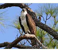 Osprey watching me! Photographic Print