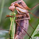 Headless mating mantis by teva-art